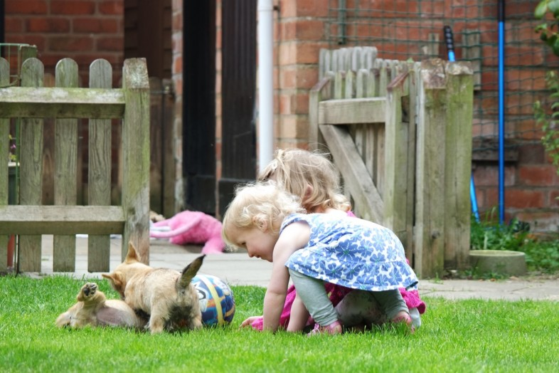 Norwich Terrier Puppies and kids