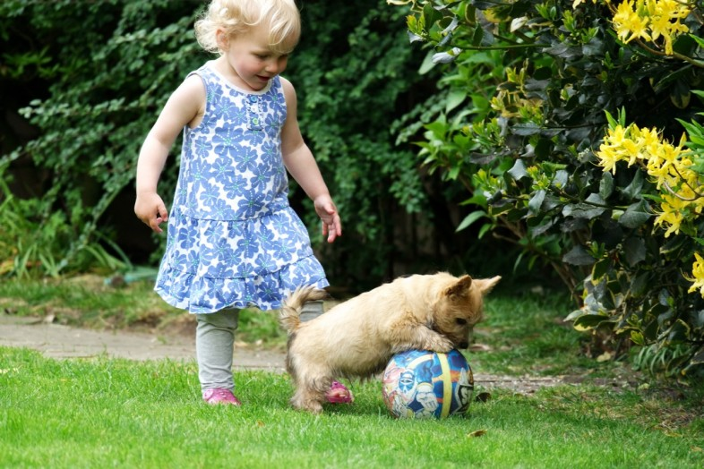 Norwich Terrier Puppy playing football