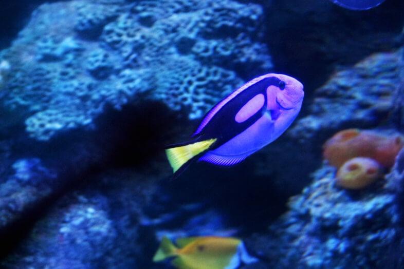 Dory - Blue Tang fish - Sea Life Birmingham