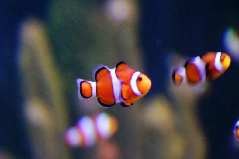 Nemo - clownfish - Sea Life Birmingham