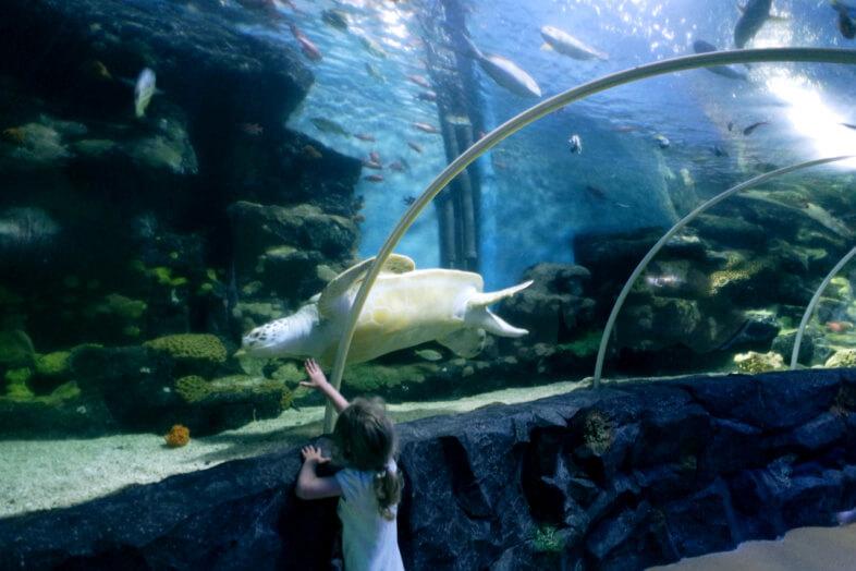 Molokai - Green Sea Turtle - Sea Life Birmingham