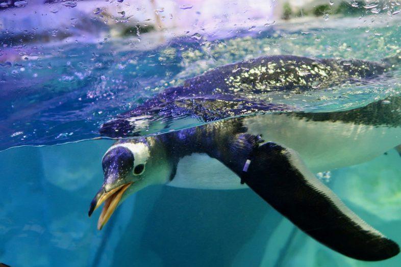 Gentoo Penguin at Sea Life Birmingham