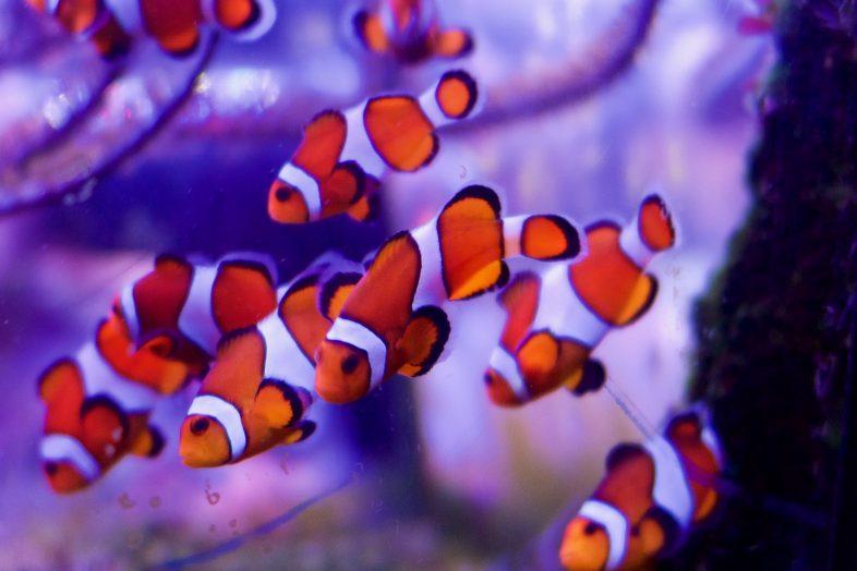 Clownfish at Sea Life Birmingham