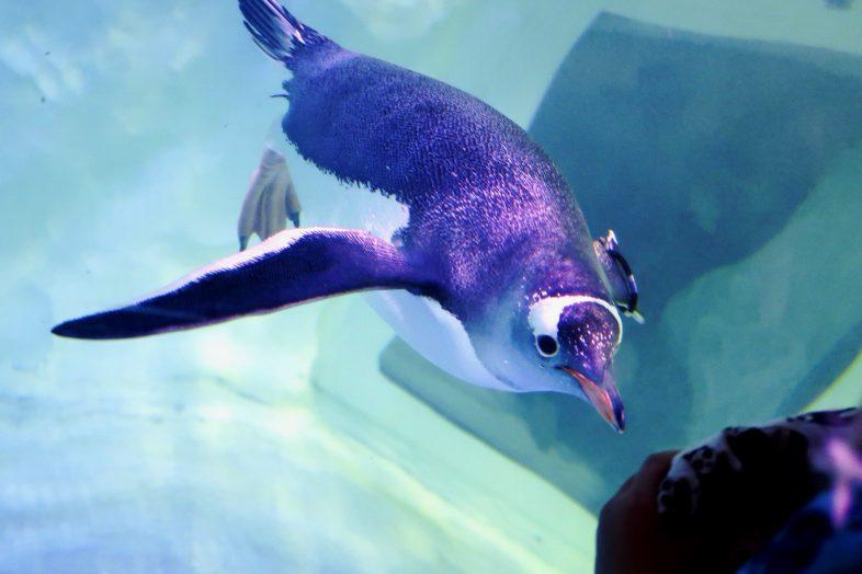 Penguin at Birmingham Sea Life Centre