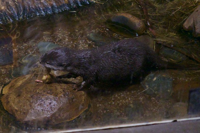 Otter at Sea Life Birmingham
